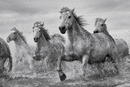 Los caballos - Camargue Horses