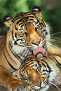 Tigers - mother's love